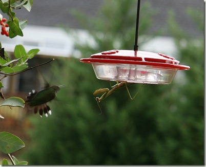 The Mantis and the Hummingbird