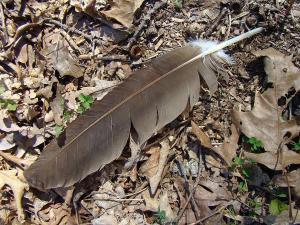 turkey-vulture-feather--cathartes-aura-carol-senske